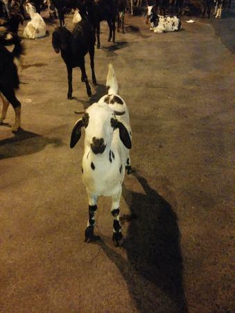 Goat in Kolkata.